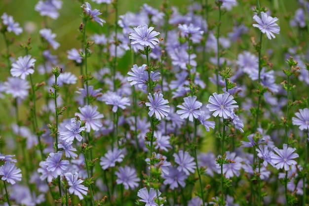 Цикорий цветы на лугу