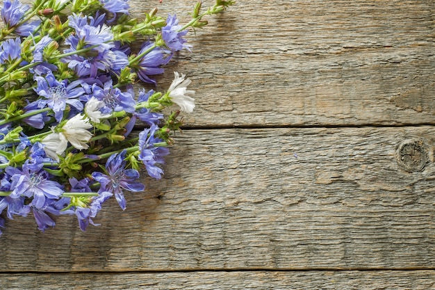 Chicory flowers on rustic wooden background. medicinal plant cichorii