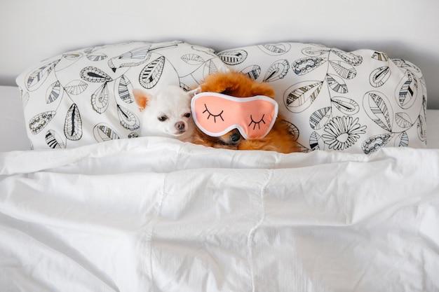 Chihuahas는 침대에서 자 고