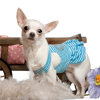 Chihuahua, 1 year old, wearing blue striped dress and standing in front of dog bed wagon