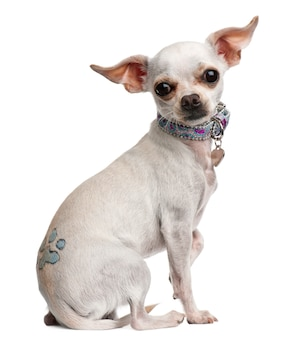 Chihuahua, 1 year old, with tattoo and collar, sitting in front of white wall