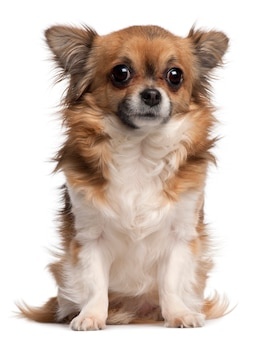 Chihuahua, 3 years old, sitting