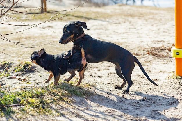 치와와와 닥스훈트가 모래에서 놀고 있습니다. 닥스훈트와 치와와는 야외에 있습니다. 산책을위한 개