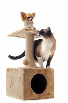 Чихуахуа и сиамский кот