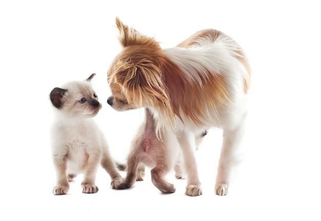 チワワとシャムの子猫