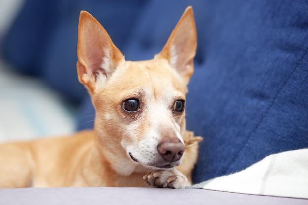 自宅のチワワは、リビングルームの青いソファに横たわっています。ソファで寝ている生inger犬。ソファで休んでいるペット。かわいい犬。落ち着いたスマートな犬は、快適なソファに横たわり、仕事から飼い主を待ちます。ペットのコンセプト