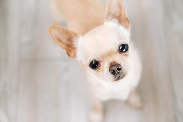 チワワ-美しい小さな犬、茶色のチワワ