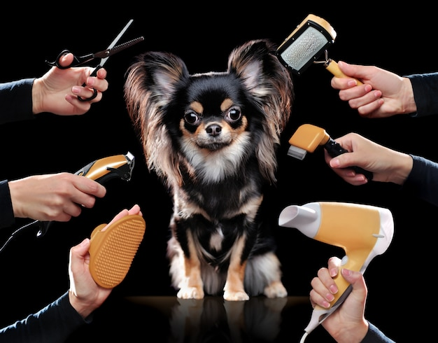 Chihuahua in black wall getting grooming procedures