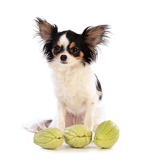 Chihuahua and chayotte (sechium edule) on white surface