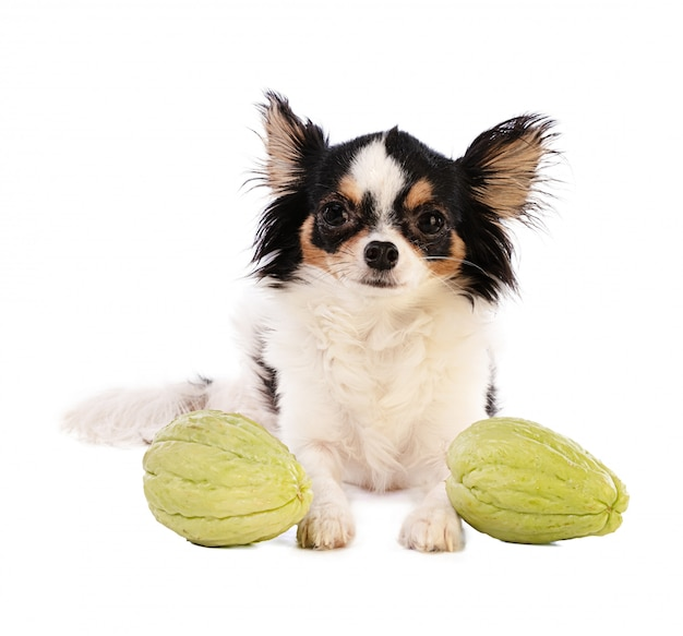 Chihuahua and chayotte (sechium edule)