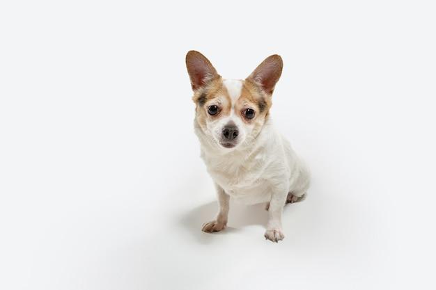 치와와 반려견이 포즈를 취하고 있습니다. 귀여운 장난 크림 갈색 강아지 또는 애완 동물 흰색 벽에 고립 된 재생. 모션, 액션, 움직임, 애완 동물 사랑의 개념. 행복하고, 기쁘고, 재미있어 보인다.