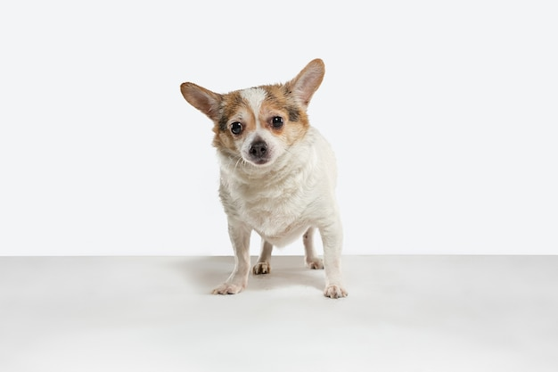 Chihuahua companion dog is posing. cute playful creme brown doggy or pet playing isolated on white studio background. concept of motion, action, movement, pets love. looks happy, delighted, funny.