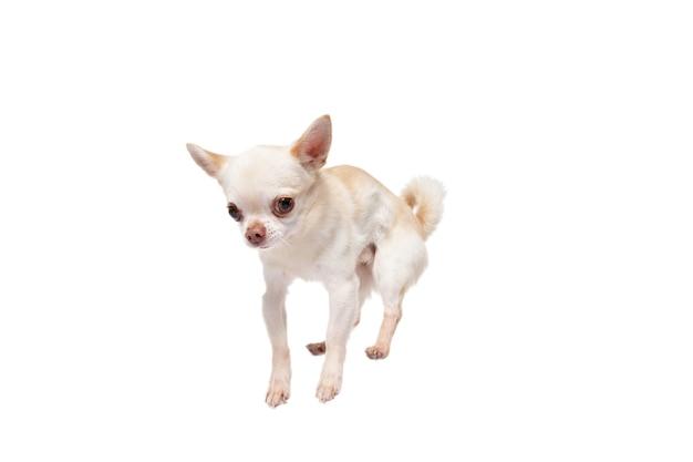 치와와 반려견 점프. 귀엽고 장난기 많은 흰색 크림 강아지나 애완동물은 흰색 스튜디오 배경에서 격리되어 놀고 있습니다. 움직임, 행동, 움직임, 애완동물 사랑의 개념. 행복하고, 기쁘고, 재미있어 보입니다.