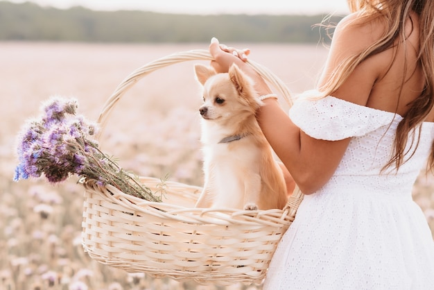 Chihuahua dog in a basket of flowers in the hands of a girl in a field in summer in nature