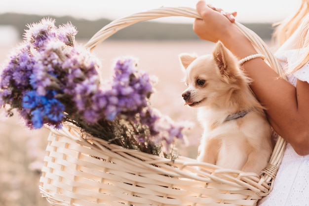 Chihuahua dog in a basket of flowers in the hands of a girl in a field