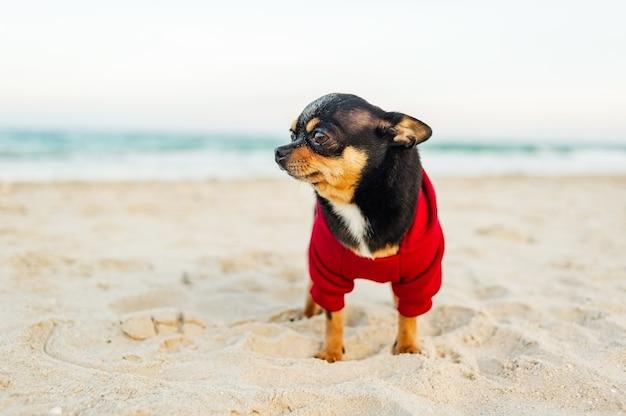 바다로 치와와 강아지. 치와와 강아지 해변에서 산책. 빨간 까마귀에 검은 개.