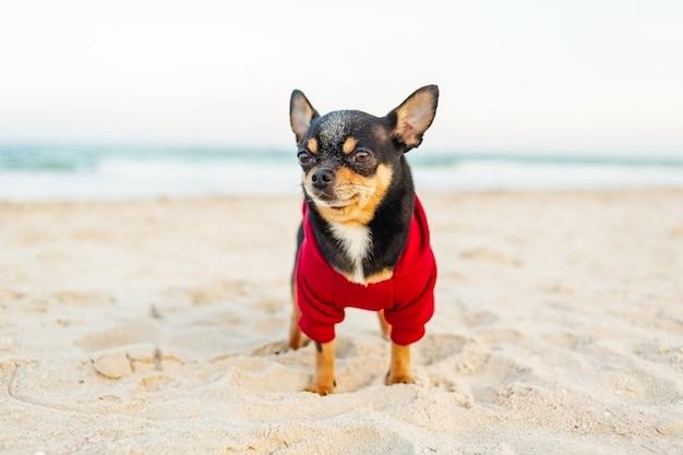 Собака чихуахуа на берегу моря. собака чихуахуа гуляет по пляжу. черная собака в красной толстовке с капюшоном.