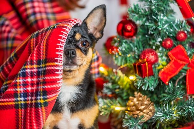 チワワ犬。チワワとクリスマス。愛らしい小さなクリスマスの犬チワワ