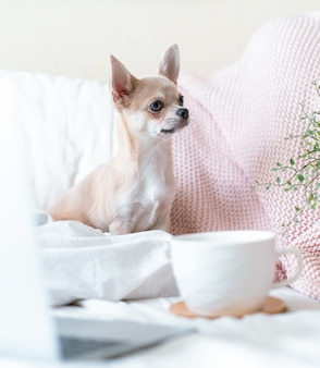 Chihuahua dog covered in throw blanket with cup of hot tea or coffee