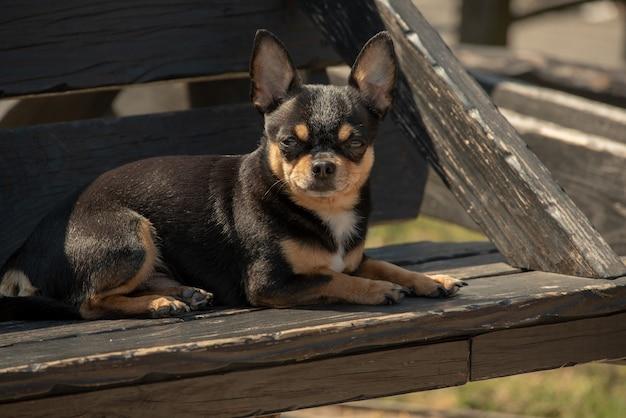 산책 치와와 강아지. 치와와 검정, 갈색 및 흰색. 가을의 개는 정원이나 공원에서 산책합니다. 작은 품종의 개. 애완 동물은 야외에서 걸어야합니다. 강아지의 초상화입니다.