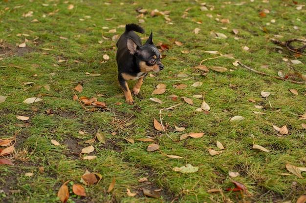 散歩のためのチワワ犬。チワワブラック。秋の犬は庭や公園を散歩します