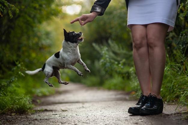Собака чихуахуа смешно прыгает за угощением. обучение