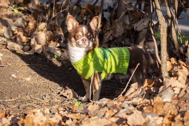 Chihuahua dog on the grass