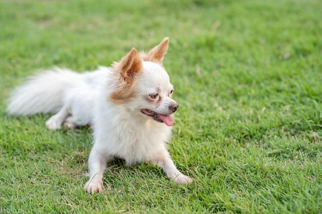 치와와 강아지 행복하고 녹색 잔디 필드 야외에서 즐길 수