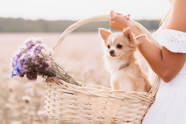 自然の中で夏の野原で女の子の手に花のバスケットにチワワ犬