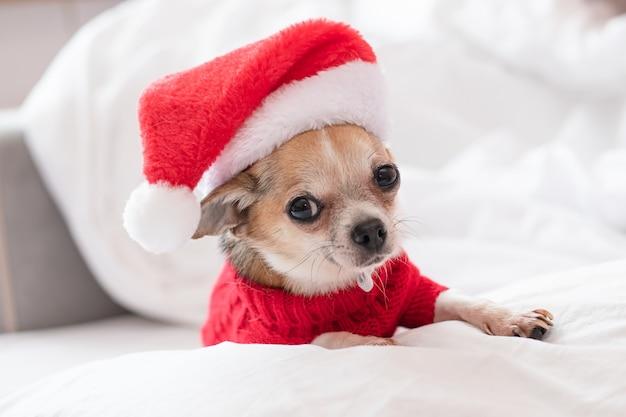 Собака чихуахуа в красном свитере и шляпе санта-клауса лежит на белой кровати в рождество