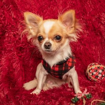 毛布の上に自宅で服を着たチワワ犬。新年とクリスマスのコンセプト。