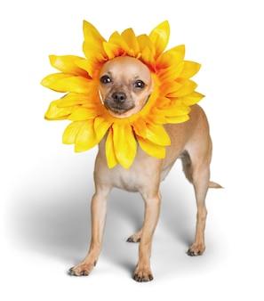 흰색 바탕에 귀여운 꽃 모자를 쓴 치와와 강아지