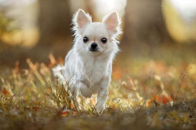 Собака чихуахуа в парке