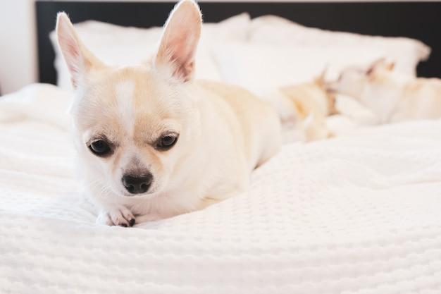 Собака чихуахуа лежала на кровати с белым листом.