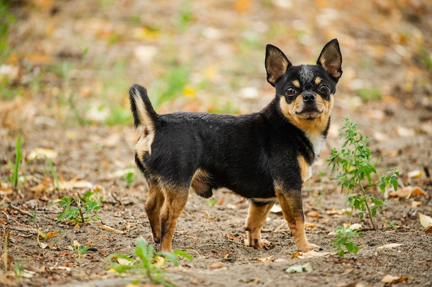 Chihuahua dog in nature