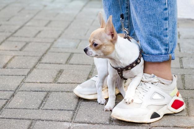 チワワ。散歩中の犬。かわいいわんわん。信頼できる友達。