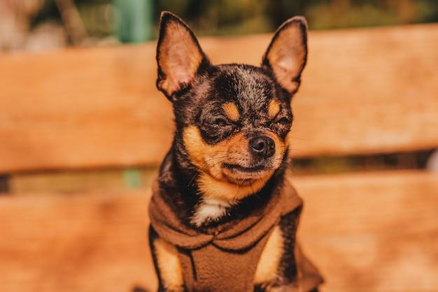 Собака чихуахуа на деревянной коричневой скамейке в коричневой одежде Premium Фотографии