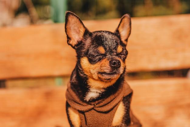 Собака чихуахуа на деревянной коричневой скамейке в коричневой одежде