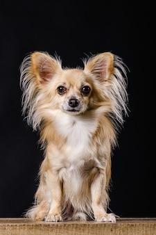暗い背景のチワワ犬