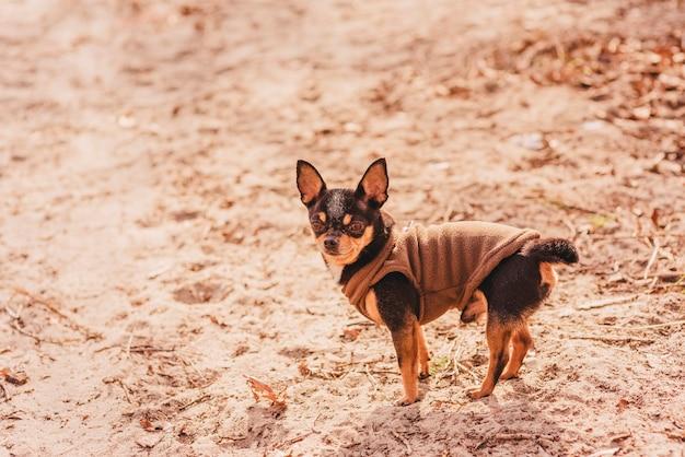 Собака чихуахуа на песчаном пляже. чихуахуа открытый природа животное