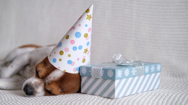 Chihuahua dog in party hat sleep with christmas gift lie down on coach. merry christmas. happy new year. santa dog.