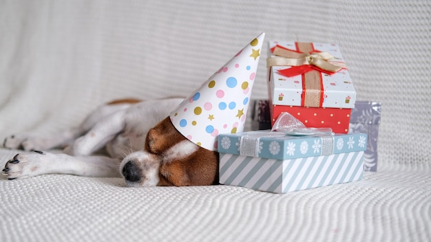 Chihuahua dog in party hat sleep with christmas gifts lie down on coach. merry christmas. happy new year. santa dog.