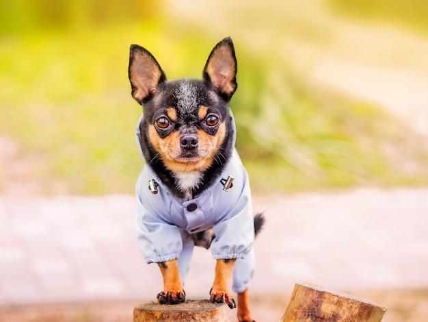 치와와 강아지 초상화입니다. 옷에 황갈색과 검은 개.