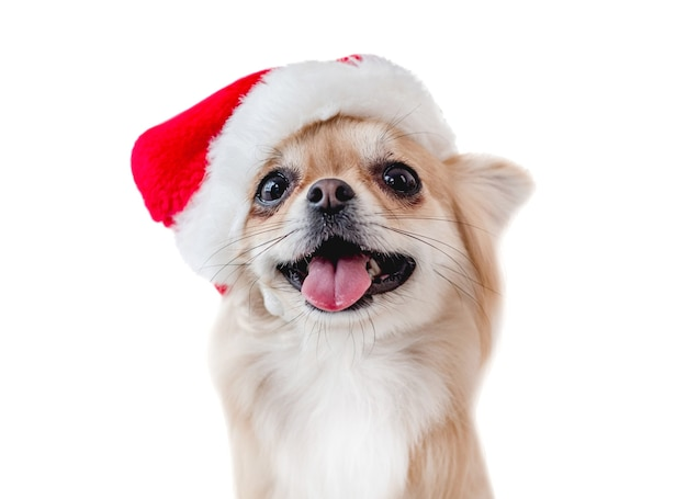 Chihuahua dog portrait in red santa hat with open mouth isolated on white background. christmas holidays doggy closeup