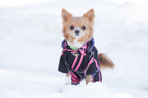 雪の中でポーズをとるチワワ犬
