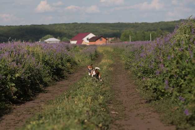 Chihuahua dog running in the meadow at summer day