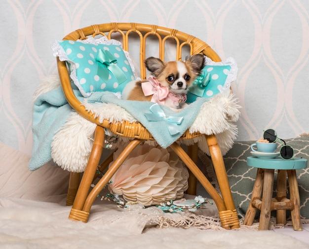 スタジオ、肖像画の椅子に座っているチワワ犬