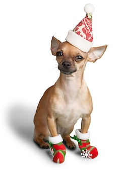 Chihuahua dog sitting in santa hat  on a white background
