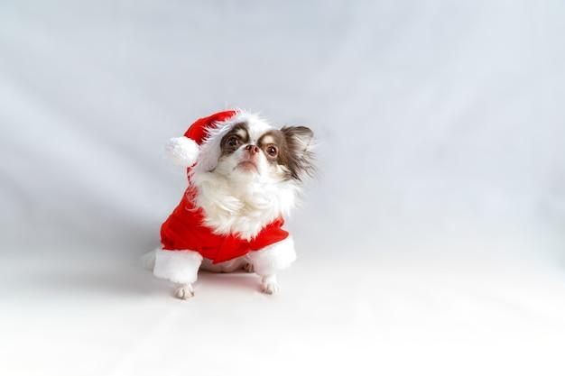 빨간 크리스마스 산타 의상을 입고 치와와 강아지 카메라를 찾습니다. 흰색 배경에 고립.