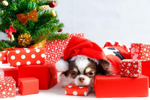 빨간 크리스마스 산타 의상을 입고 치와와 강아지 선물 상자와 카메라를 찾습니다. 흰색 배경에 고립.